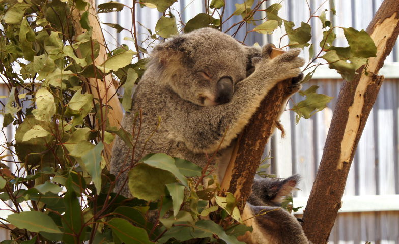 Koala Sanctury Park Brisbane