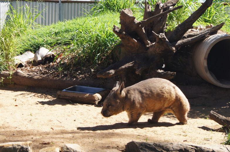 australien brisbane wombat