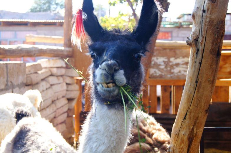 Alpaca gibt es in der Atacama