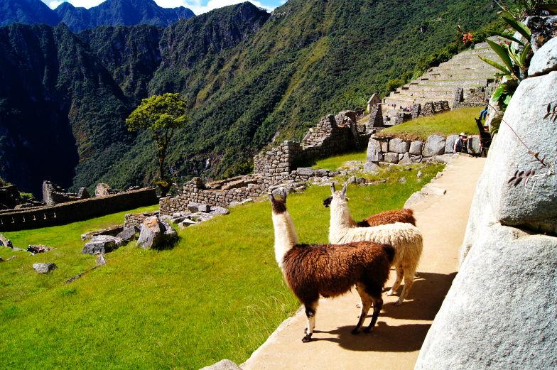 Llamas sind auch gerne am Machu Picchu