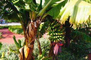 Bananen wachsen auf Madeira Funchal Tipps
