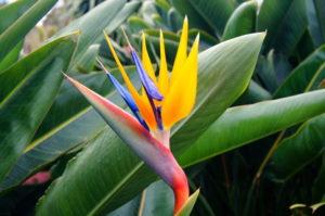 Strelitzien Paradiesvogelblume Madeira Blume