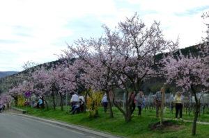 Ausflugstipp Mandelblütenfest Gimmeldingen Pfalz